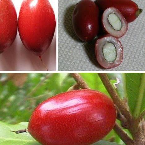 Jual Pohon Buah Miracle Fruit (Buah Ajaib) - Tin dan Zaitun | Tokopedia
