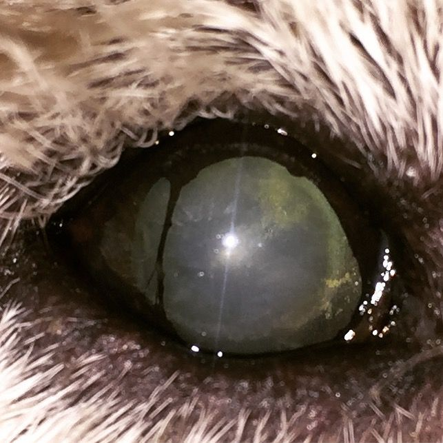 Persistent Pupillary Membrane In A Dog Dog Eye Problems Dogs