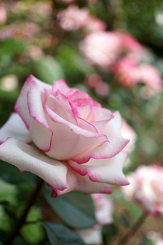 Rose,Minuette, Floribunda rose,  United States of America, Lammerts, 1969