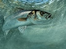 Bass on the Fly II by wildlife artist David Miller
