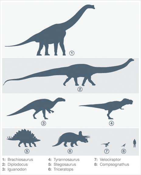 A comparison of dinosaur size in relation to humans - from the 30m long Diplodocus to the 70cm tall Compsognathus.