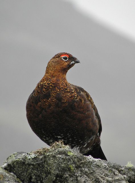 """""""Throaty exclamation signals a territorial male red grouse. It bursts into the air, stalls, then parachutes down, tail spread and wings whirring, before bowing, tail fanned and wings drooped."""" 52 Wildlife Weekends www.bradtguides.com"""