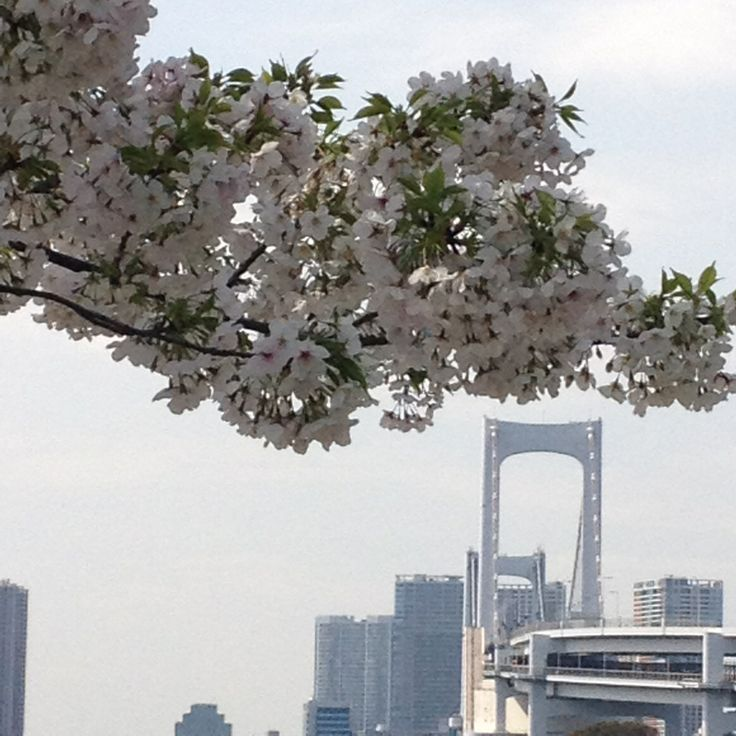 Cherry Blossoms & Rainbow Bridge, Spring 2014