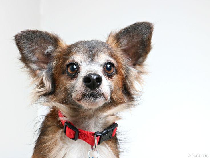 Chion dog for Adoption in Eden Prairie, MN. ADN514681 on