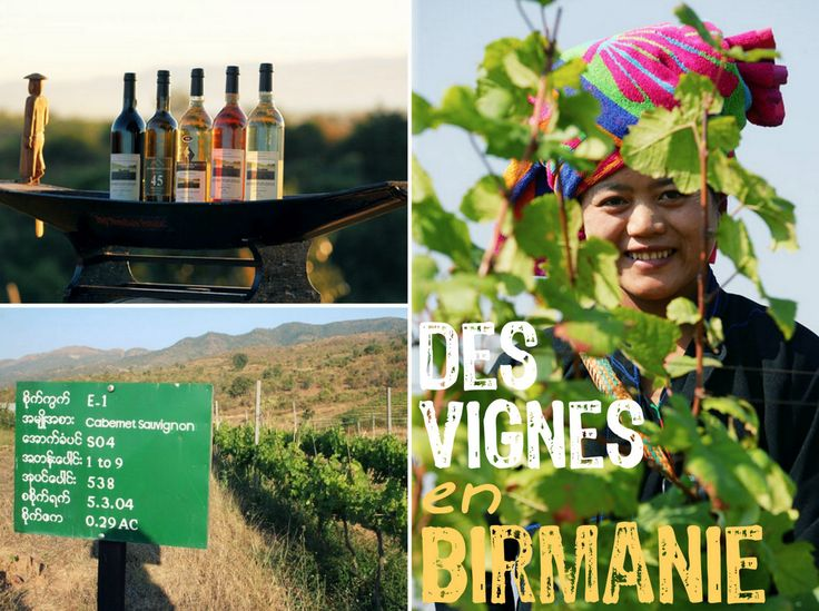 #insolite On continue notre tour du monde des vignes : découvrez les vignes Birmanes aujourd'hui ! #voyage #birmanie #myanmar #vin