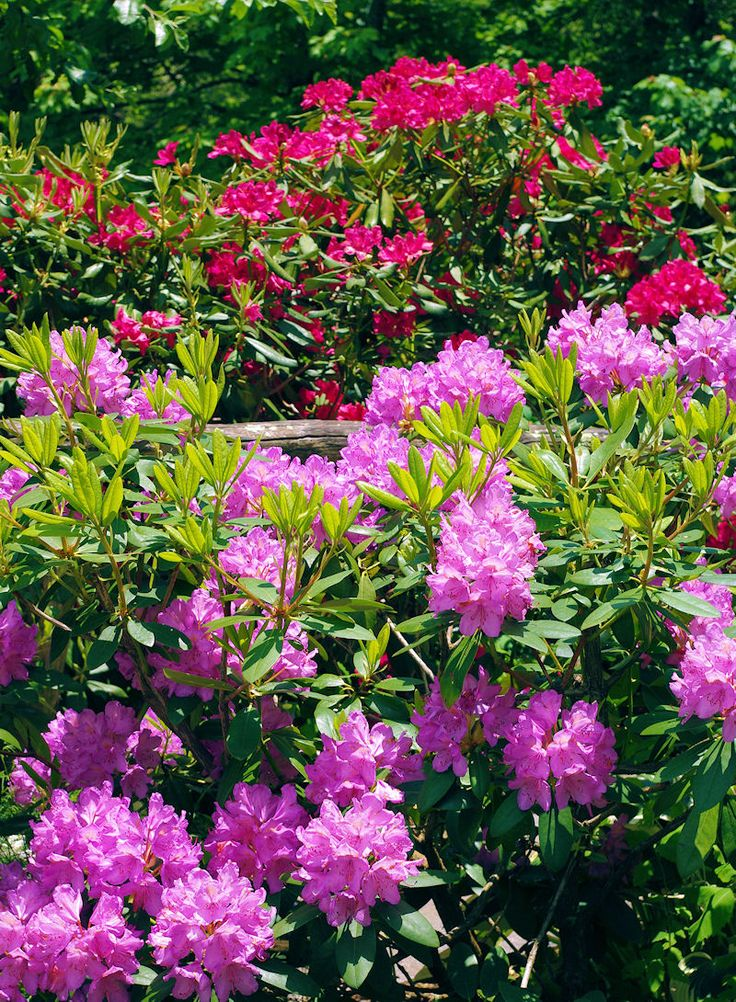 Rhododendron in bloom in the Great Smoky Mountains National Park