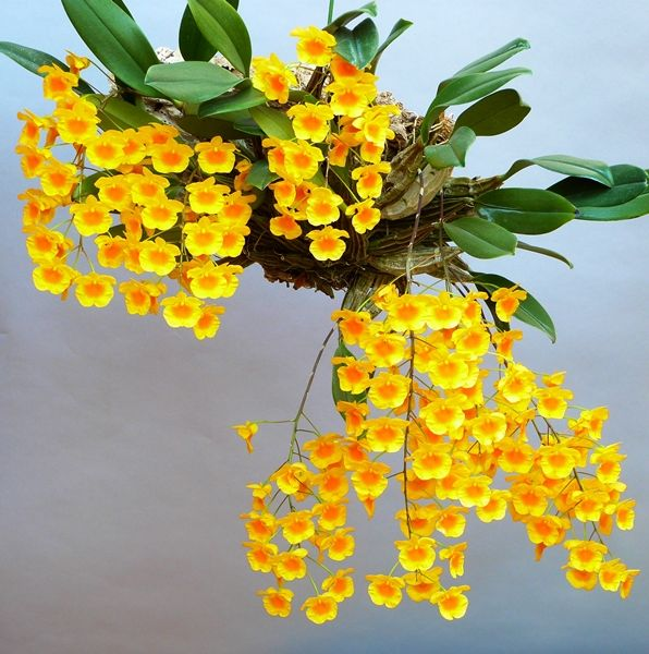 Orchid: Dendrobium lindleyi