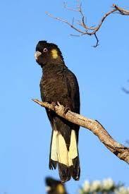 black cockatoo - Google Search