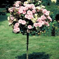 Blushing Knock Out® Rose Tree