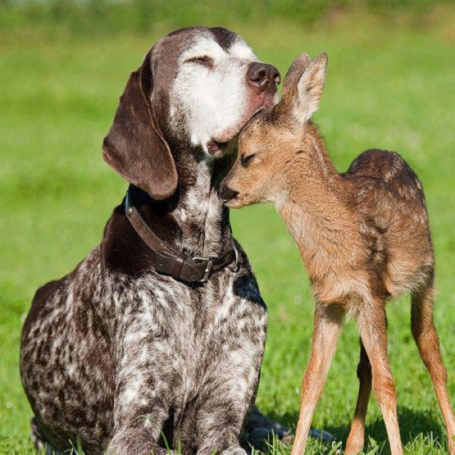 PreciousAnimal Pics, Hunting Dogs, German Shorthair Pointer, Animal Friendship, Baby Deer, Puppies, Best Friends, Sweets, Senior Guys