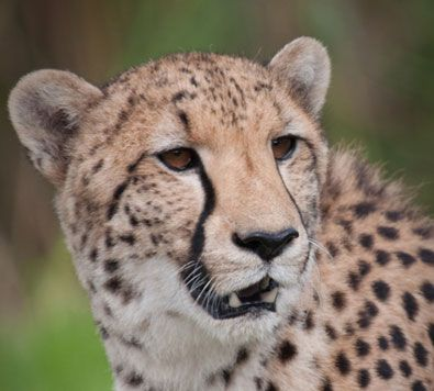 Cheetah Outreach