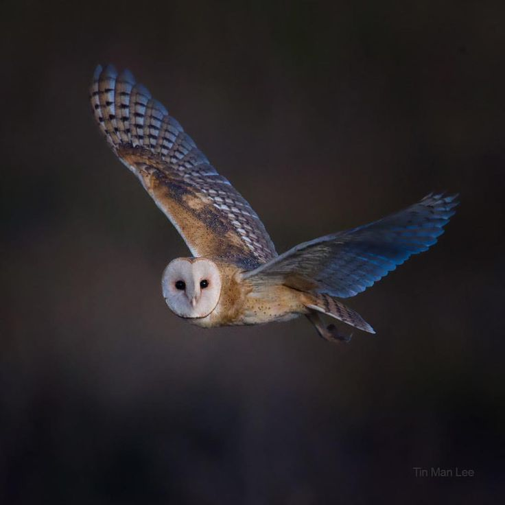 "3,090 Likes, 61 Comments - Tin Man Lee (@tinmanlee) on Instagram: ""Who wants to see a barn owl? I miss them, which is why I am looking at some old pics and decide to…"""
