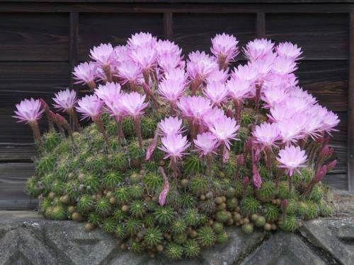 Hacer florecer cactus plantas flores cactus hacer for Cactus cuidados exterior