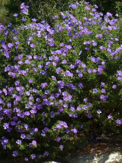 "Alyogyne huegelii ""West Coast Gem"" (Australian native). Flowers most of the year."