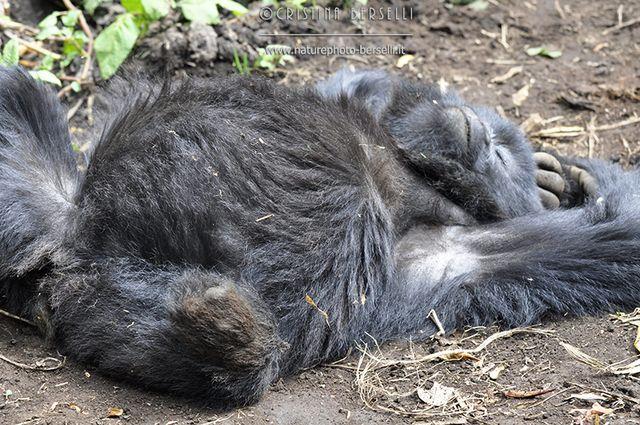 Prosegue il racconto di Cristina, in Ruanda nel Volcanoes National Park, per osservare da vicino i mitici gorilla di montagna!