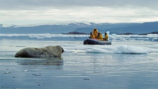 Walrus in the Canadian wilderness - Visit the arctic north of Canada #wildlife #nature #animals #sea #ice #boat #canada #kilroy