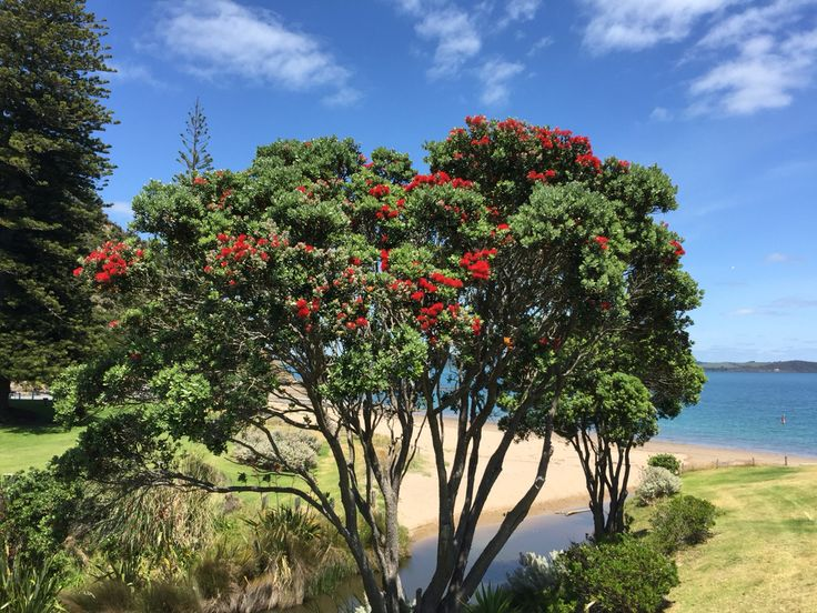 You know Christmas is near when the Pohutukawa trees flower
