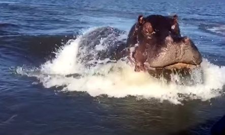 Angry Hippo Charges Speed Boat (Video)