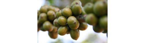 Lo sapevate che il caffè verde è un antiossidante 4 volte più potente del the verde ed è di ottimo aiuto nelle diete perchè velocizza e stimola il metabolismo meglio che il caffè normale? Ecco come trarne al meglio i benefici...  http://www.macrolibrarsi.it/speciali/i-benefici-del-caffe-verde.php?pn=3148
