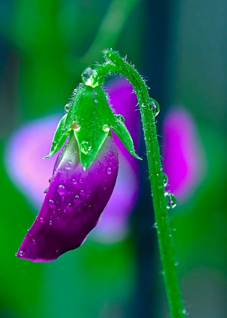 Early Morning Sweet Pea, via Flickr.