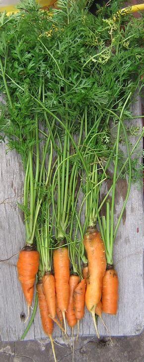 Cuando sembrar y cosechar en tu huerta jardin: Cultivo de zanahoria orgánica