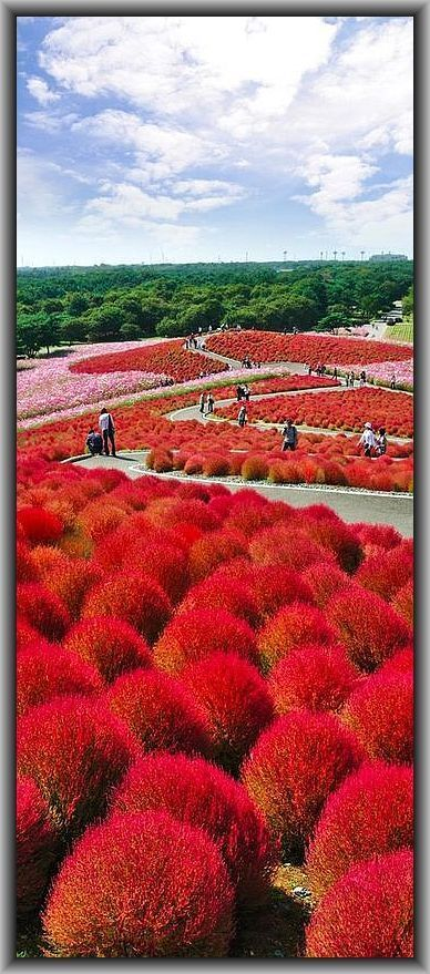 Kokuei Hitachi Seaside Park, Hitachinaka, Ibaraki, Japan #photo by thegoldenscopeit.files.wordpress.com