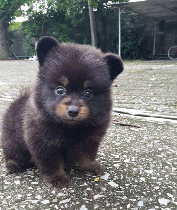 10+ Puppies That Are Too Adorable To Be Real - Looks Like The Woodland Critter Christmas Bear