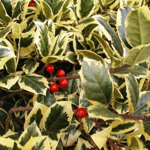 Un arbust superb, foarte indragit pentru frunzele lucioase cu marginile aurii si micile fructe rosii, stralucitoare.