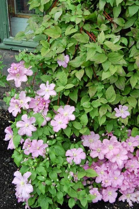 VILL OG VAKKER: Klematis vokser fort og har vakre blomster. Den overvintrer både i bed og i krukker.
