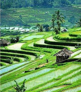 Ubud  @: Bali Travel, Favorite Places, Peace Places, Amazing Places, Baliindonesia, Rice Fields, Jakarta Indonesia, Ubud Bali, Bali Indonesia