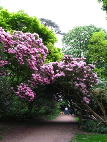 Rhododendron at Sheringham Park - Norfolk, England. There are also many of theae to be seen around Sandringham.