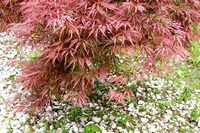 How to Care for a Tamukeyama Japanese Maple   eHow (planted in Japanese garden, side yard)
