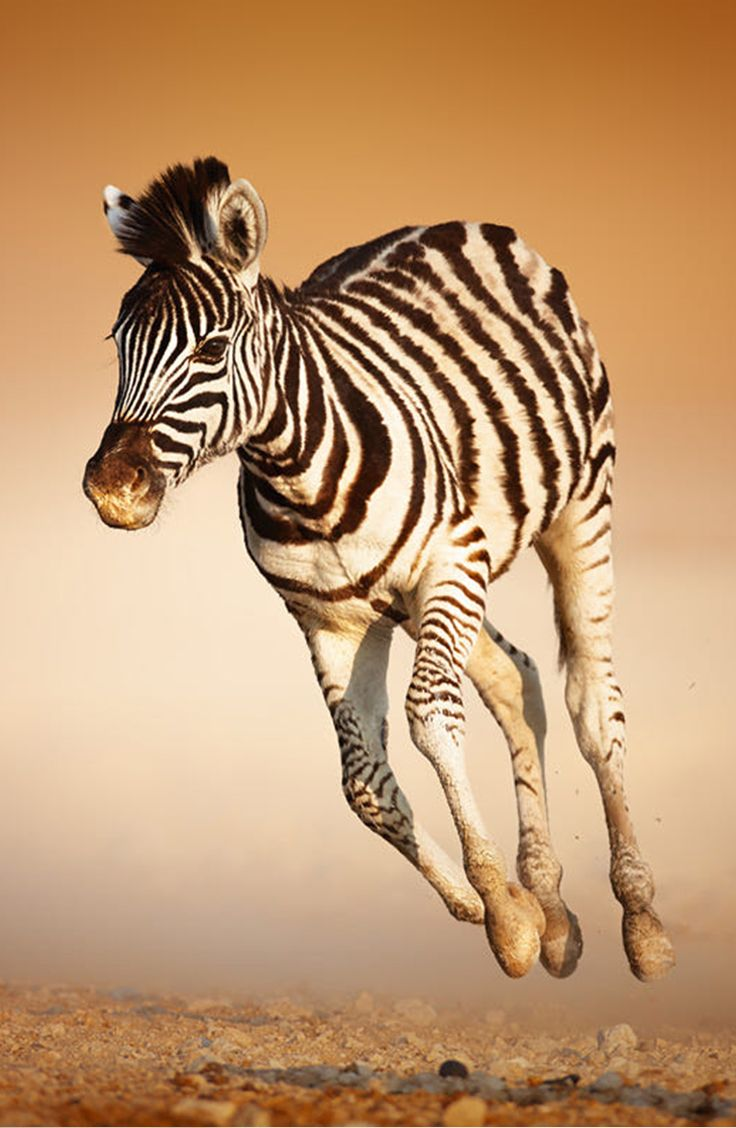 Young galloping zebra