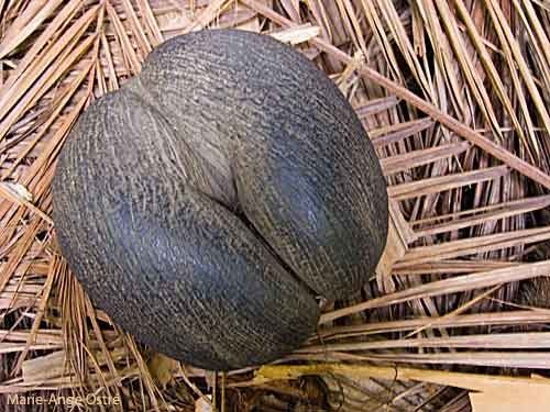 (Lodoicea maldivica) - Fruit of the coconut palm of the sea