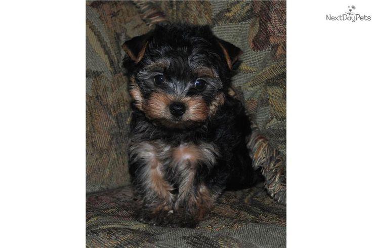 Meet Cameron a cute Yorkshire Terrier - Yorkie puppy for sale for $575. Akc Yorkie Male Puppy Cameron