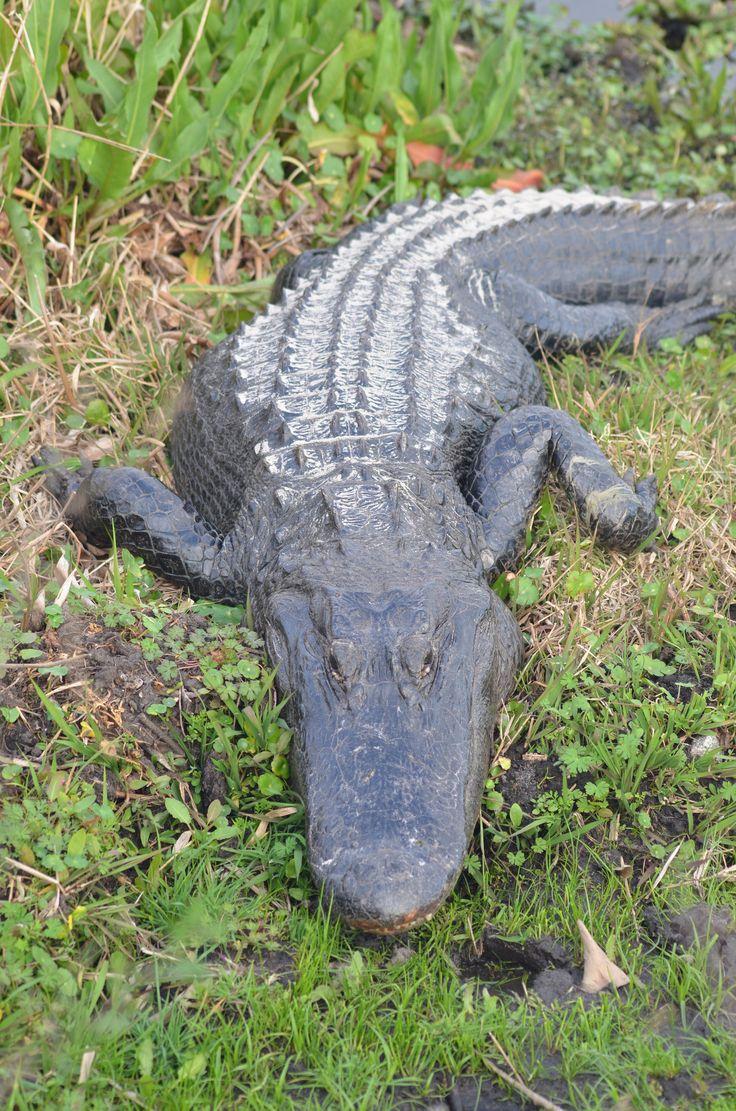 190 best alligator images on pinterest alligators reptiles and