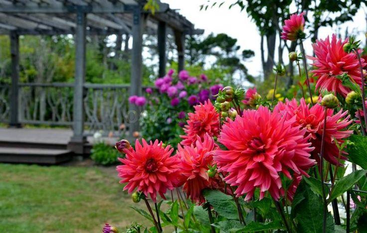 Георгины: 7 секретов успешного выращивания и ухода