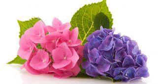 Variedades de hortensias