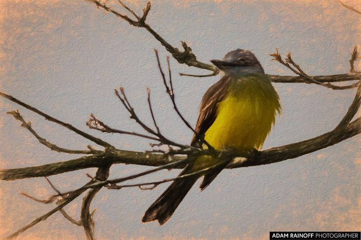 Tropical Kingbird Parque del Cafe Colombia Art Rendering / This photo was taken June 14 2017 at Parque del Cafe Colombia. / 2017 Adam Rainoff / #armenia #BIRD #birding #BIRDS #Colombia #kingbird #montenegro #park #parquedelcafe #tourism #travel #tropical