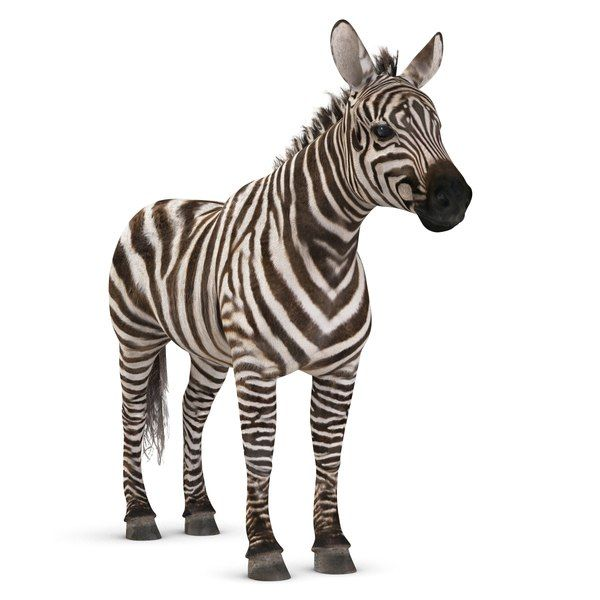 Zebra 3d Model Zebra 3d Model Model