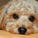 Cockapoo Puppy ♥
