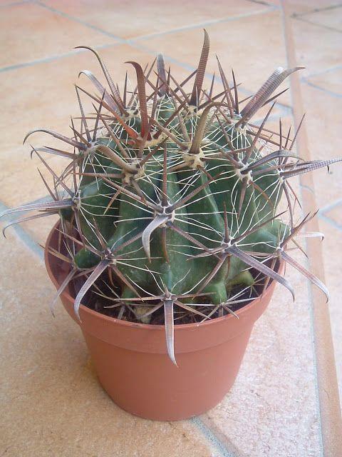 Ferocactus Latispinus : Cactus y Suculentas de Amanecer