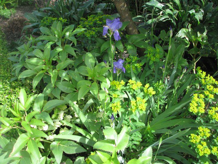Iris, Winter Roses (Hellebores)