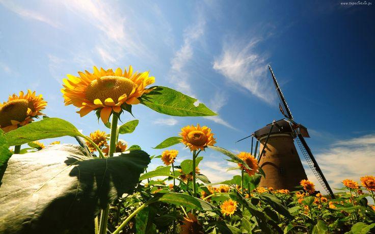 Słoneczniki, Niebo, Wiatrak
