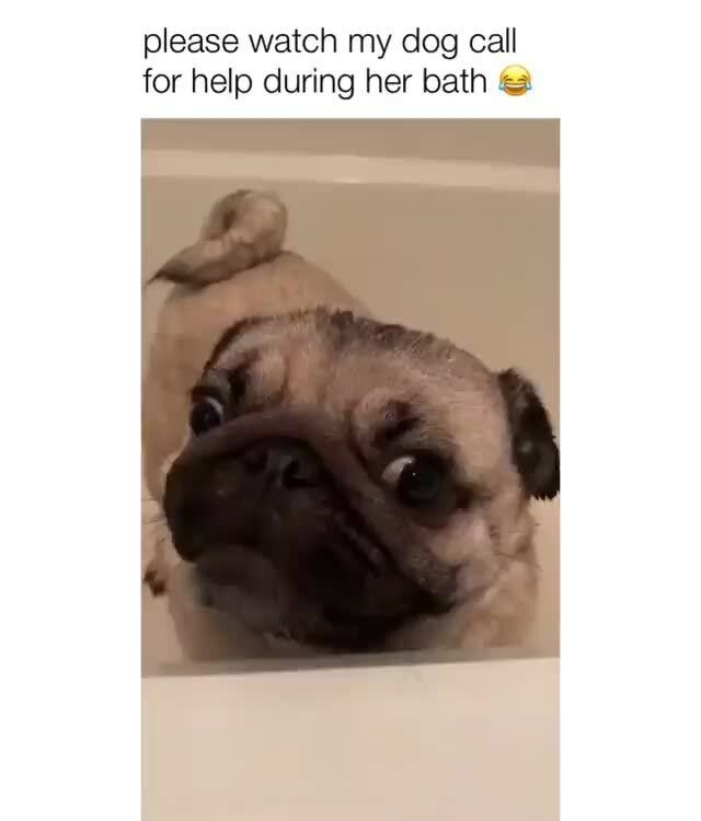 Please Watch My Dog Call For Help During Her Bath Popular Memes On The Site Ifunny Co Dogs Dog Memes Funny Dogs