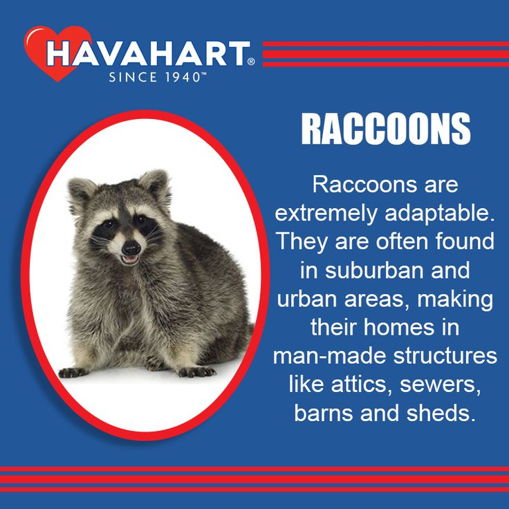 Amazing Raccoon Facts! #CaringForCritters