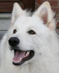 berger blanc suisse dog photo | Jardi-Dog