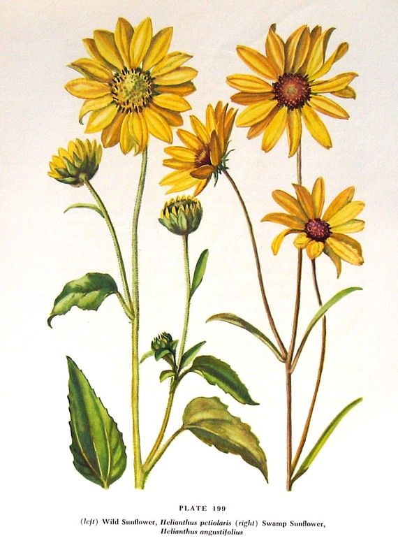 Wild Sunflower 1954 Wildflower Vintage Book Plate For Framing p199 | Bees and honey | Wild ...