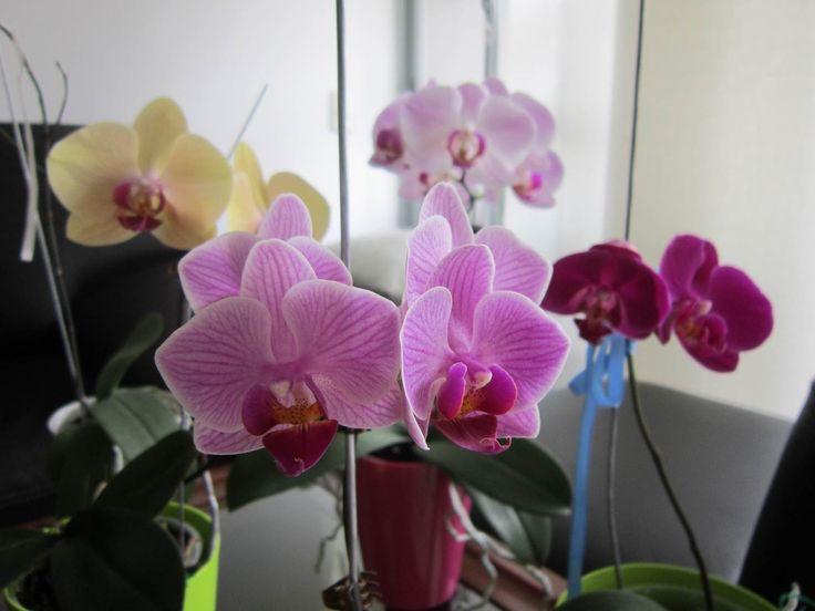 Hola a todos y bienvenidos a mi canal en español, donde hablaremos del cuidado básico de las orquídeas. Hoy vamos a hablar de lo que debes tener en cuenta pa...