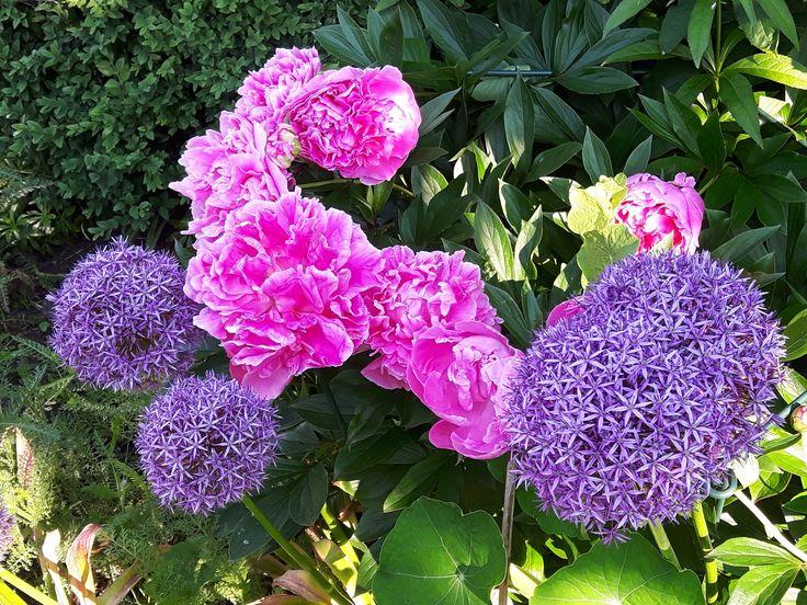 Mooie kleurcombinatie in het het voorjaar met alium en pioenroos 'Sarah Bernard'